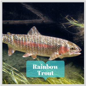rainbow_trout